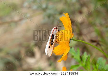 White insect on yellow Cosmos sulphureus Cav flowers in garden. stock photo
