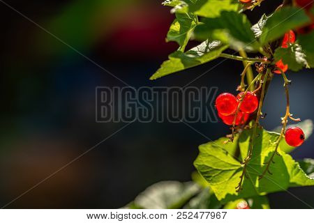 Macrophoto of a currant with a nice bookeh stock photo