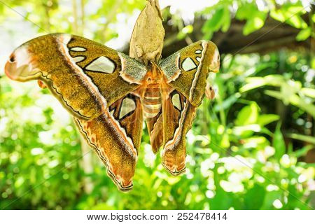 Attacus caesar, huge moth butterfly in Saturniidae family with brown orange colours, Bohol, Philippines stock photo