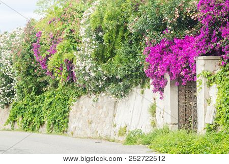 Flowerful big purple or red bougainvillea plant tree in Tropea city, Italy stock photo