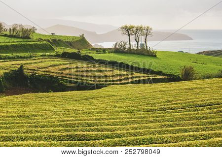 The oldest, and currently only tea plantation in Europe on the island of S. Miguel (Azores). They produce teas of excellent quality excellent by processing the leaves on vintage 19th century English machinery. Plants and leafs of Black Tea, Green Tea, and stock photo