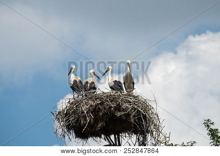 A storks family (Ciconia ciconia) in a stork's nest. stock photo