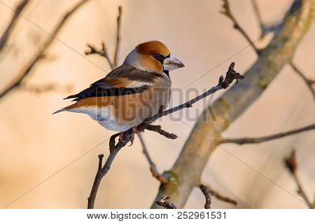 Hawfinch (Coccothraustes coccothraustes) sits on a branch of a wild apple tree in its natural habitat. stock photo