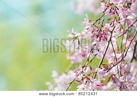 Beautiful spring cherry blossom with flower buds, early spring soft pastel green background. Shallow