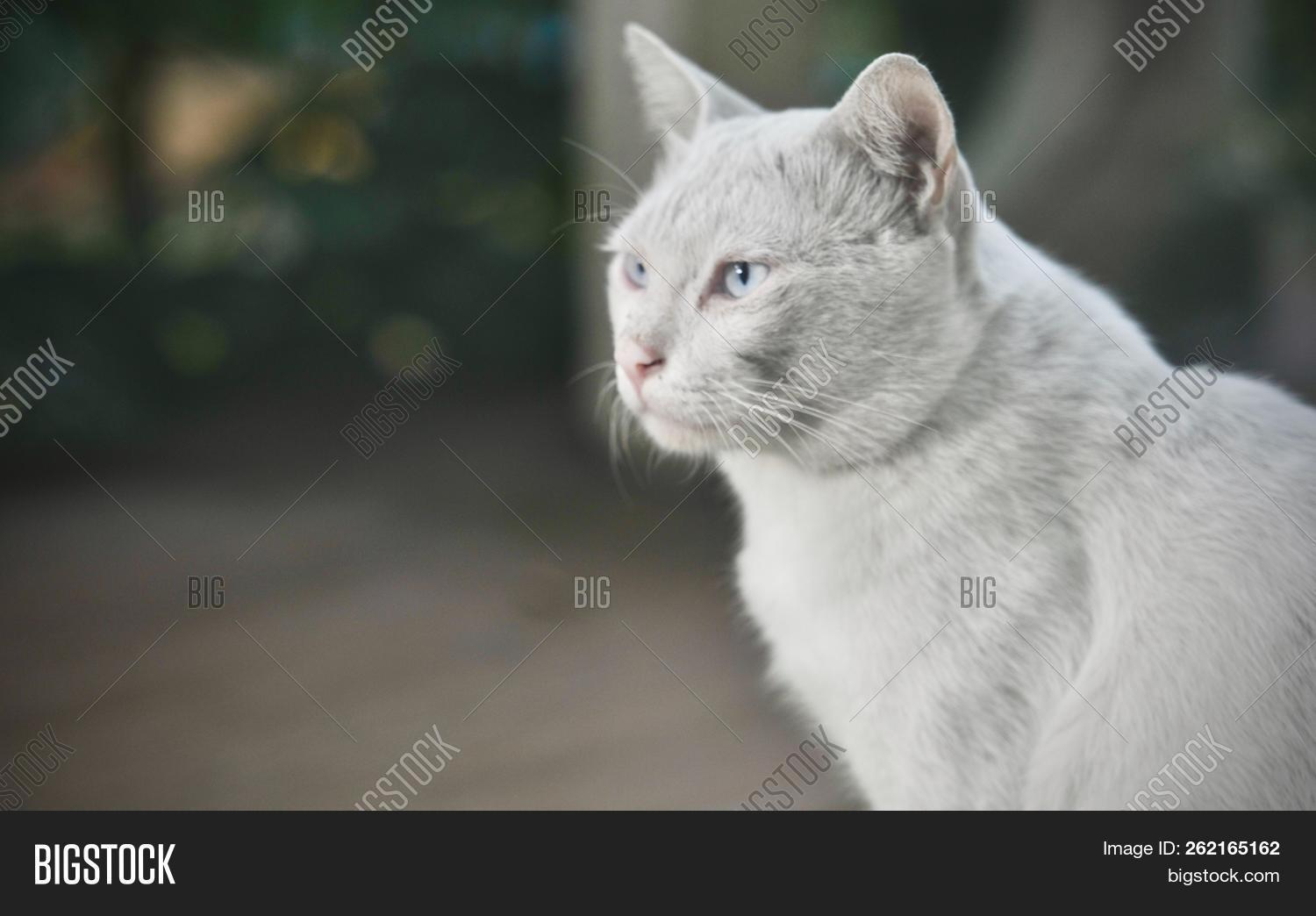 Siamese Cat Is The Thai Domestic Cat Ugly And Dirty Cat And Smart Pet In House White Cat Looking U Image Stock Photo 262165162