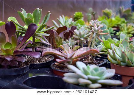 Close up of different varietal agave succulent plants in pots, selective focus. various types of succulent plant pot - echeveria, Graptoveria, Haworthia, sempervivum, flowering house, house plants stock photo
