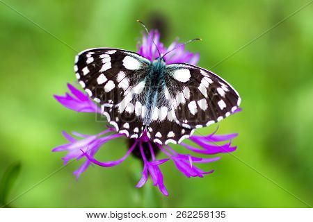 a Melanargia galathea, a butterfly commonly called marbled white. on a purple flower stock photo