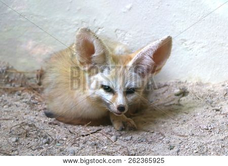The fennec fox or fennec (Vulpes zerda) is a small nocturnal fox found in the Sahara of North Africa, stock photo