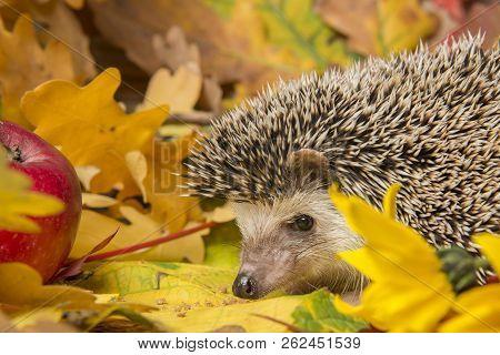 Four-toed Hedgehog (African pygmy hedgehog) - Atelerix albiventris stock photo