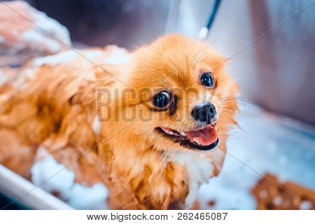 Pomeranian dog with red hair like a fox in the bathroom in the beauty salon for dogs. Toned image. The concept of popularizing haircuts and caring for dogs. Cute spitz dog in the washing process stock photo