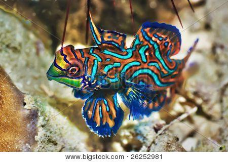 Small tropical fish Mandarinfish close-up. Sipadan. Celebes sea stock photo