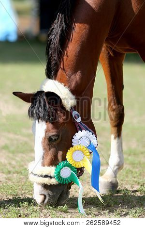 Beautiful purebred show jumper horse grazing at the race course on natural background  after race. Various colorful ribbons rosettes on head of an award winner beautiful young healthy racehorse on equitation event. stock photo