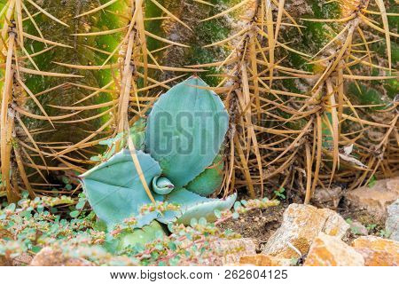 Golden barrel cactus on a bed of gravel stock photo