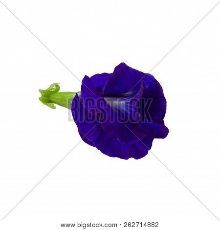 Close up of Butterfly pea flower isolated on a white background. stock photo