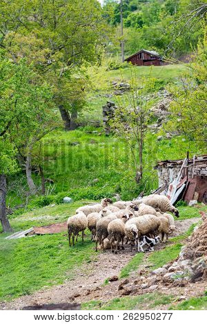 Flock of sheep gathered in a yard near small mountain hut in Bulgaria. Springtime green vertical landscape with selective focus. Mother helps tiny lamb to stand up on its hooves stock photo