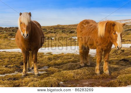 Beauty of local Icelandic horse locate in southern Iceland stock photo