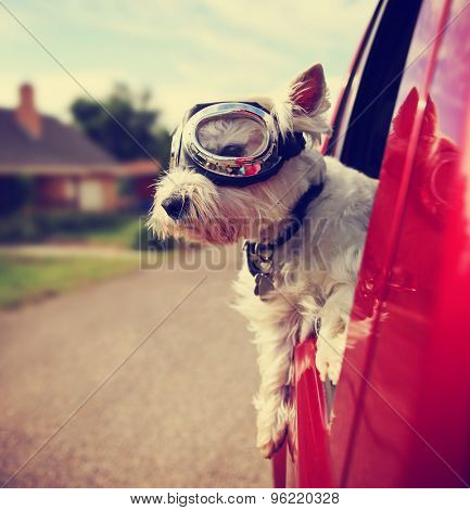 a cute westie - west highland terrier with goggles on riding in a car down an urban neighborhood ro