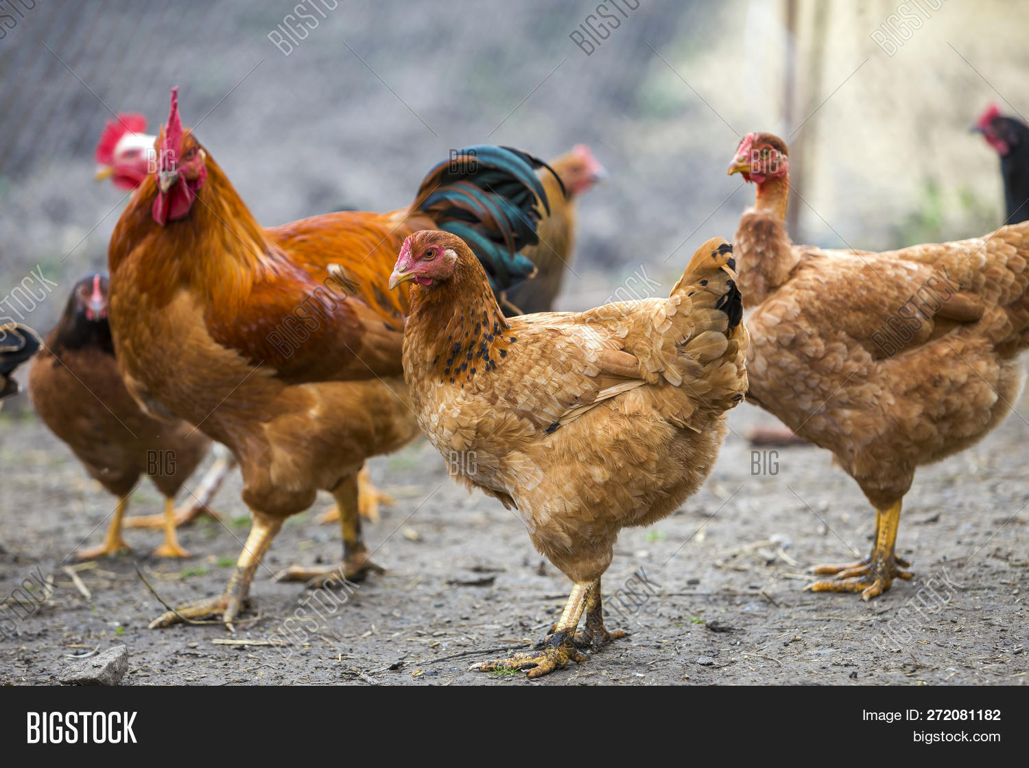 animal,background,beak,beautiful,bird,black,blurred,bright,brown,care,chick,chicken,colorful,comb,countryside,domestic,eggs,environment,farming,farmyard,feathers,feeding,flock,food,fowl,free,grassland,healthy,hen,laying,meadow,meat,natural,nature,nutrition,one,organic,outdoors,outside,pasture,poultry,production,rooster,rural,spring,summer,sunny,wings,yard