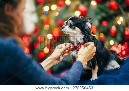 woman owner fixing bowtie on funny little dog wearing round glasses in christmas decor stock photo
