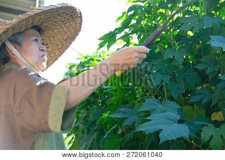 asian elderly elder woman  senior gardener farmer holding sickle hook stock photo