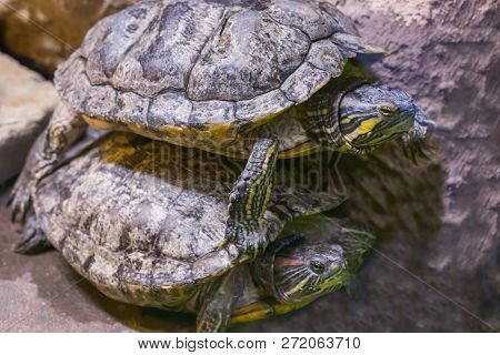 two turtles in closeup one lying on top of the other, funny animal behavior. stock photo