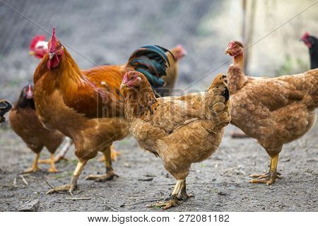 Group of grown healthy red and black hens and big brown rooster outside in poultry yard on bright sunny day. Chicken farming, healthy meat and eggs production concept. stock photo