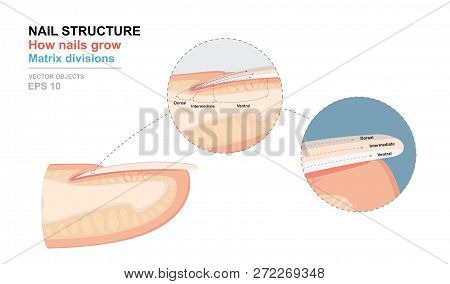 Science of human body. Anatomical training poster. Fingernail Anatomy. Structure of human nail. How nails grow. Matrix divisions. Cross-section of the finger. Detailed medical vector illustration stock photo
