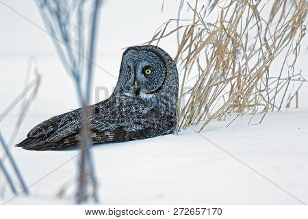 A Great Gray Owl rests in the snow. These large raptors hunt their prey from the tops of trees and can dive into the snow to catch small mammals. If they miss, they will wait on the snow to listen for movement. stock photo