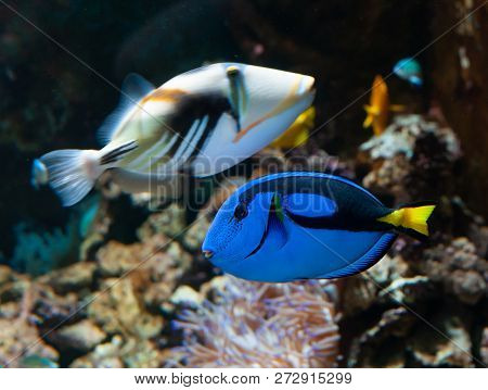 A popular coral reef fish in marine aquaria with common names, regal blue tang, palette surgeonfish, or hippo tang, an Indo-Pacific surgeonfish of Paracanthurus hepatus species with bright blue coloring, oval body and yellow flag-shaped tails. stock photo