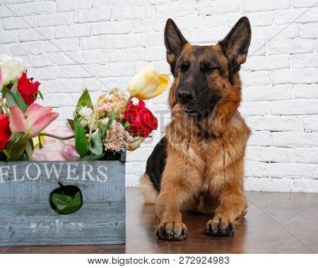 Cheerful perky dog on a brick background. German Shepherd with a bouquet of flowers. Cute little face.  Studio photo session. Languid expectation of the meeting stock photo