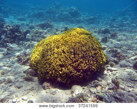 coral reef with single great yellow cup  coral at the bottom of red sea in egipt stock photo
