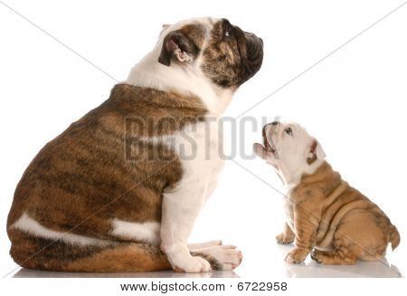 funny dog fight - bulldog puppy barking at mother stock photo
