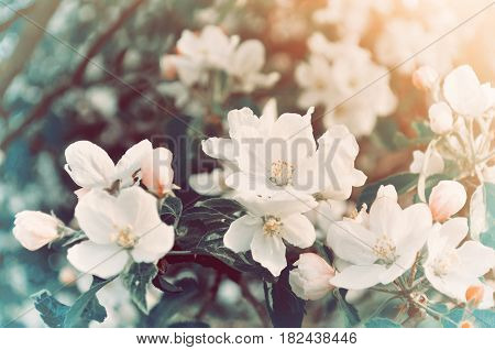 Spring flowers of blooming spring apple tree - natural spring flower background in vintage pastel tones. Spring landscape with spring apple flowers in blossom - colorful spring nature view of spring apple flowers