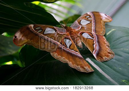 Atlas moth resting on large green leaf in a botanic garden in Scottsdale Arizona stock photo
