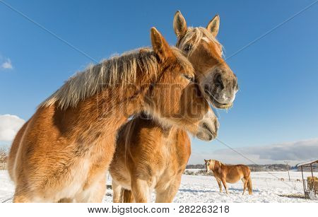 Two Horse Portrait Close Up In Love, Horse Love, Bohemian-moravian Belgian Horse In Sunny Day. Czech