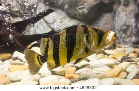 The closeup of Siamese Tigerfish in a fish tank. stock photo