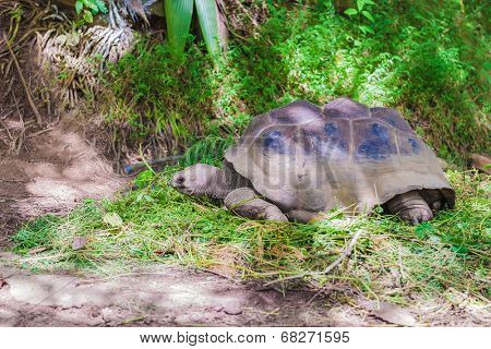 giant turtle in seychelles feeding on fome grass stock photo