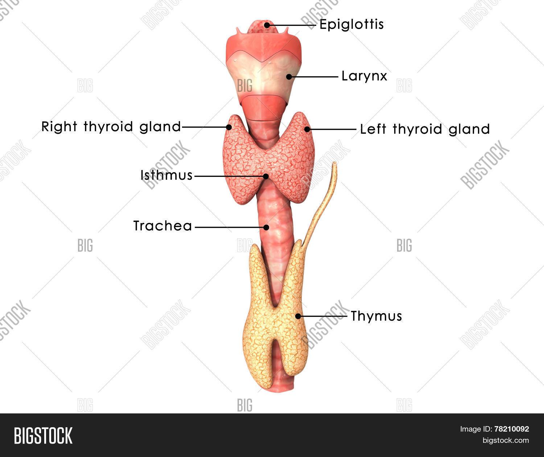 Thyroid Gland Photo Stock