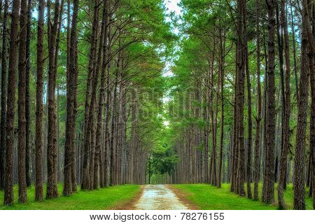 Pine Agroforestry. Boa Keaw Silvicultural Research Station (Suan Son Boa Keaw). Chiang Mai Thailand stock photo
