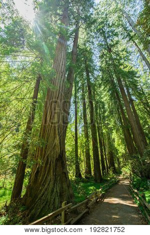 Giant redwoods in Muir Woods National Monument near San Francisco, California, USA-Lg Fridge Magnet Skin (size 36x65)