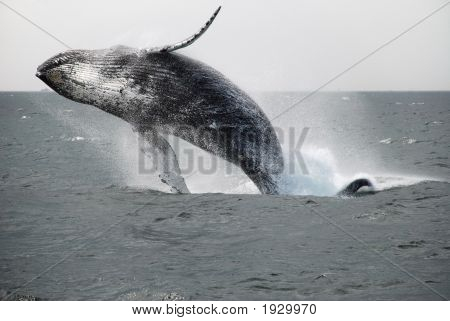 On a recent whale watch Humpback whales were having a great time. This guy was caught nearly completely out of the water. This is the first of a three shot 1 second sequence.