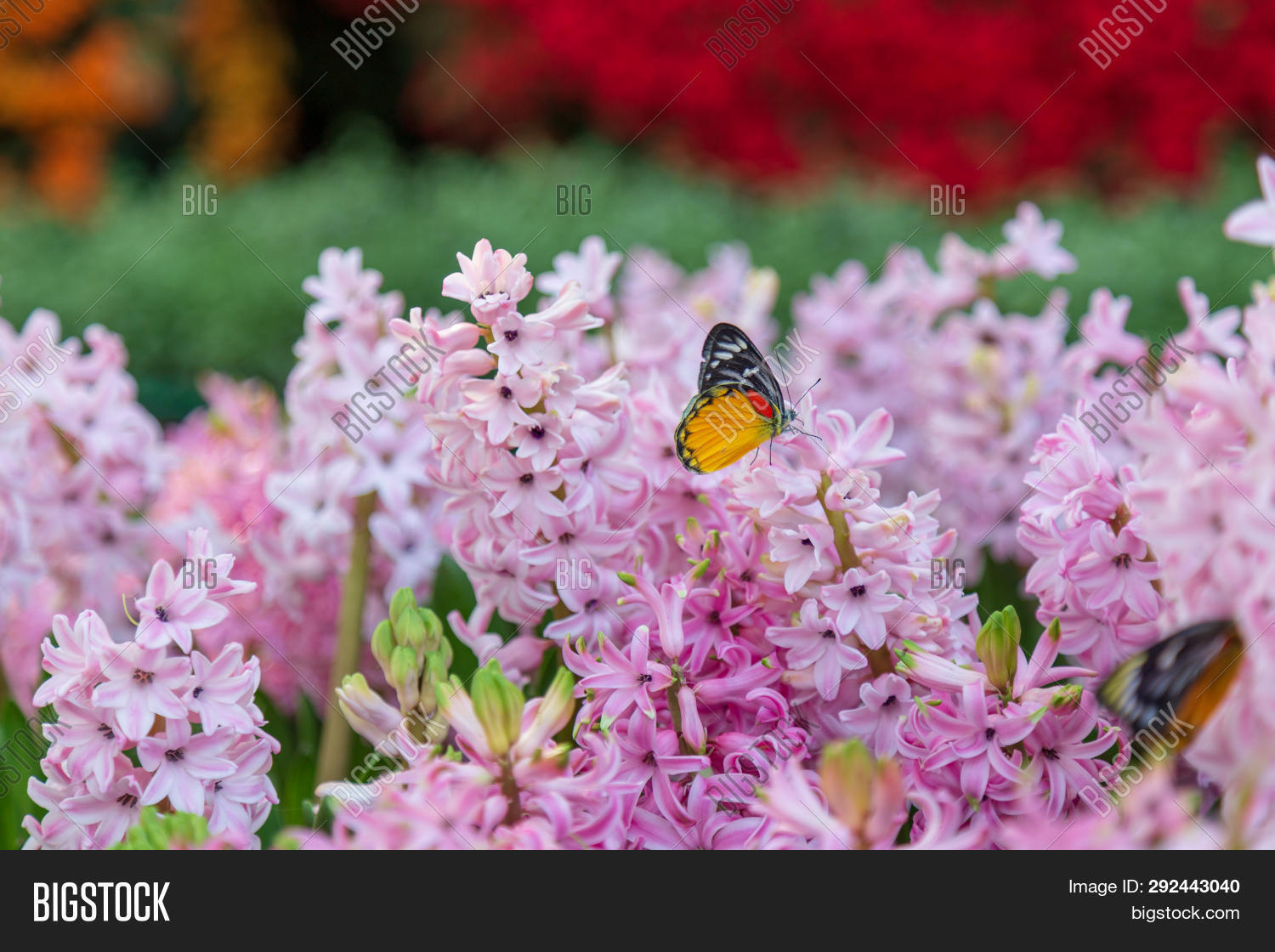 agriculture,aroma,asparagaceae,background,beautiful,beauty,bloom,blooming,blossom,botanical,botany,bouquet,branch,bunch,butterfly,close-up,color,colorful,decoration,elegance,flora,floral,flower,fragrant,fresh,freshness,garden,gardening,growth,hyacinth,hyacinthus,leaf,morning,name,natural,nature,outdoor,park,petal,pink,plant,plantae,season,seasonal,shiny,spring,springtime,sun,sunlight,vibrant