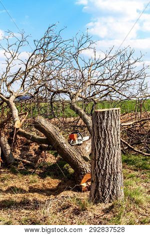 Felled butternut. Gardening. Felling of fruit trees. Sunny day in the orchard. stock photo