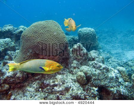 Rainbow colored Moon Wrasse swimming over tropical coral reef. stock photo