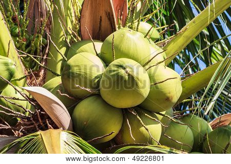 Young Coconut on Prolific Coconut Tree, Closeup stock photo
