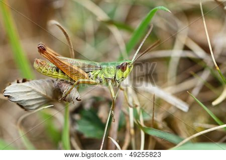 Close-up of a Mottled Grasshopper (Myrmeleotettix maculatus) on a dried leaf. stock photo