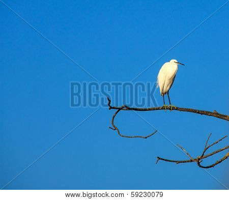 The Little Egret (Egretta garzetta) small white heron on tree stock photo