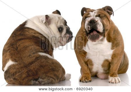 funny dog fight - english bulldog laughing at another with back to viewer stock photo