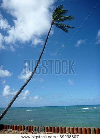 Coconut tree hang over stone wall with waves in shallow ocean waters of Waikiki looking into the pacific ocean at Leahi Beach Park on Oahu Hawaii on a beautiful day.