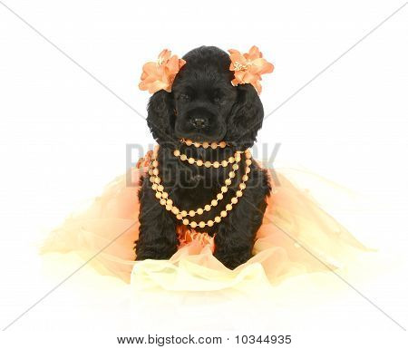 adorable cocker spaniel puppy wearing orange girl clothing on white background stock photo